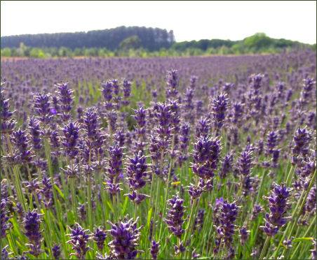 Wold's Way Lavender Farm